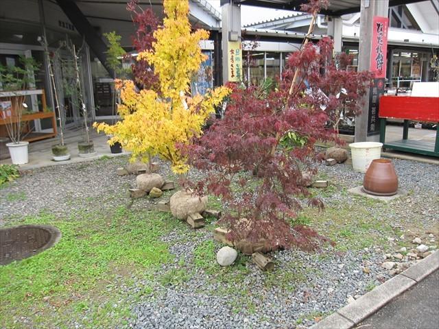 紅葉の苗木