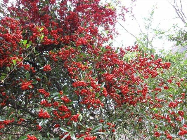 耶馬渓の紅葉-5 ピラカンサ