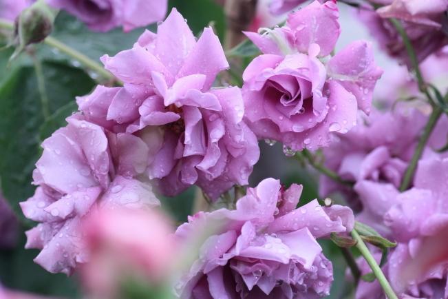 Rosa Blue Perfume