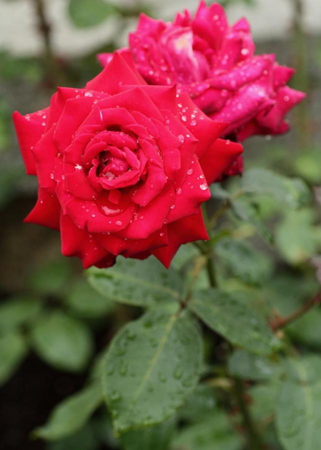 Rosa John Waterrer