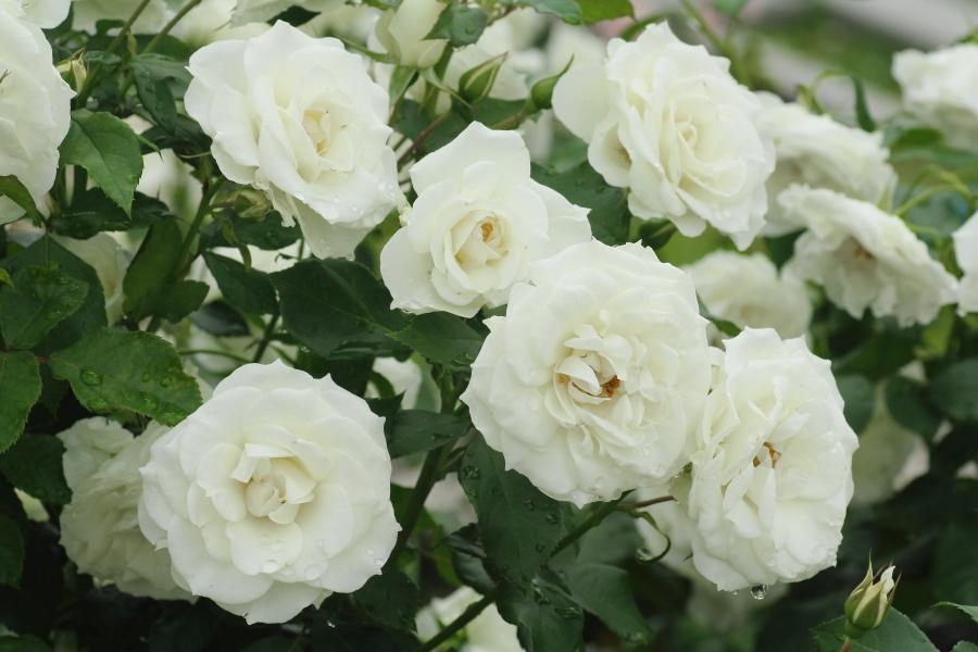 Rosa White Arrow