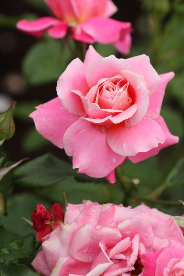 Rosa Princess Chichibu