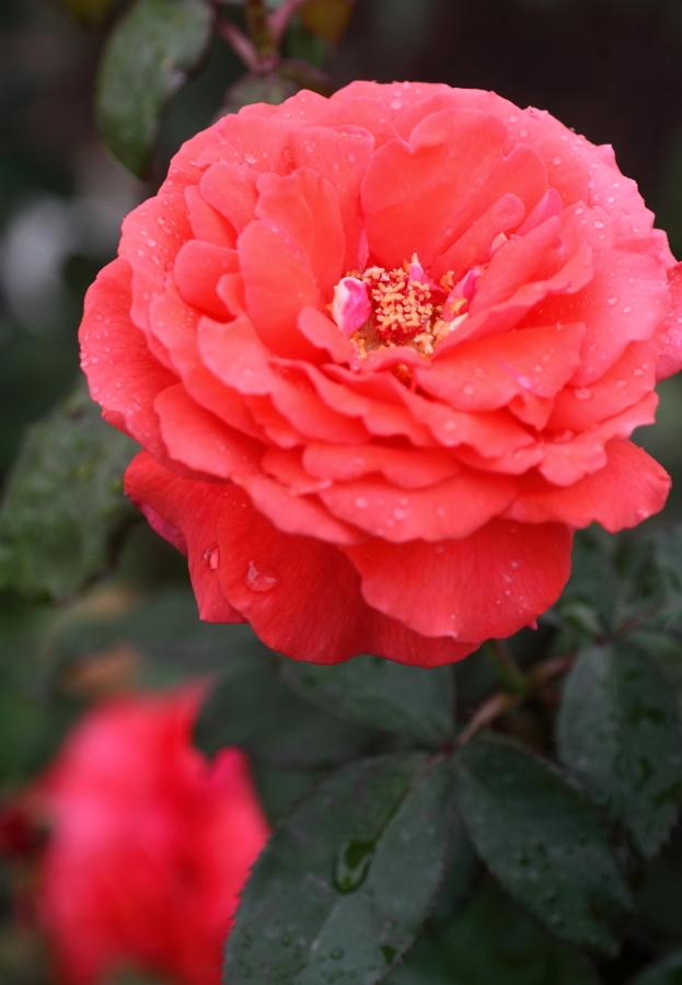 Rosa Duftwolke