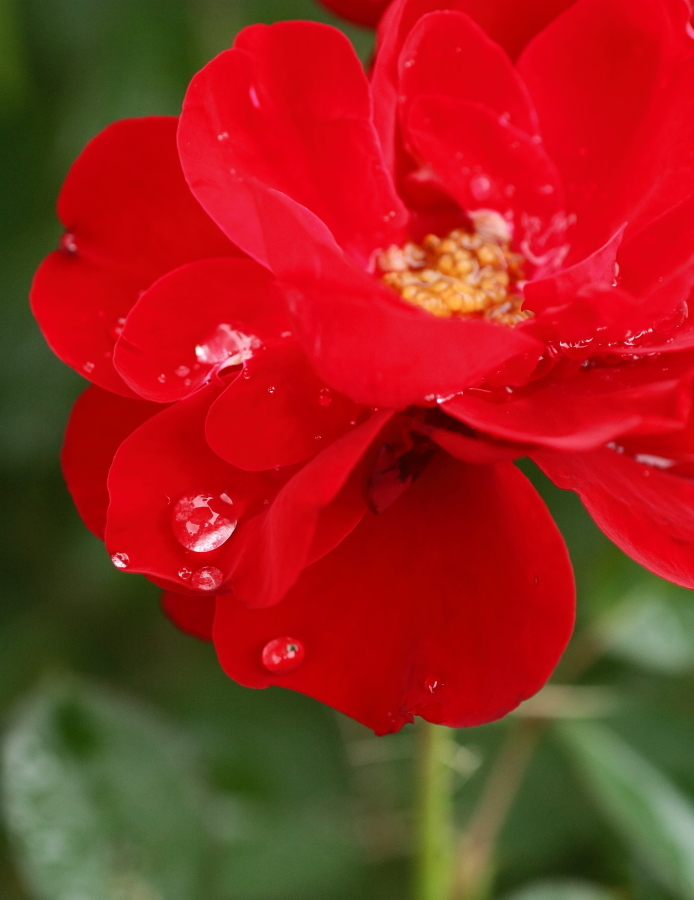 Rosa Lilli Marleen