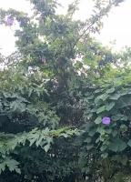 木にからんでいるアサガオ