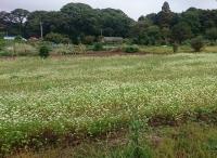 若葉区のそば畑