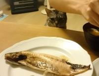 さばを狙うネコ