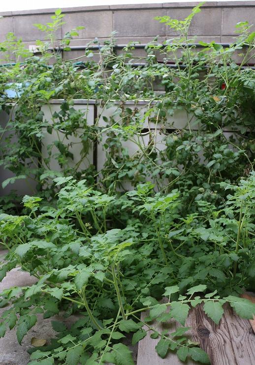 トマトの蔓が一面に 29 9 29