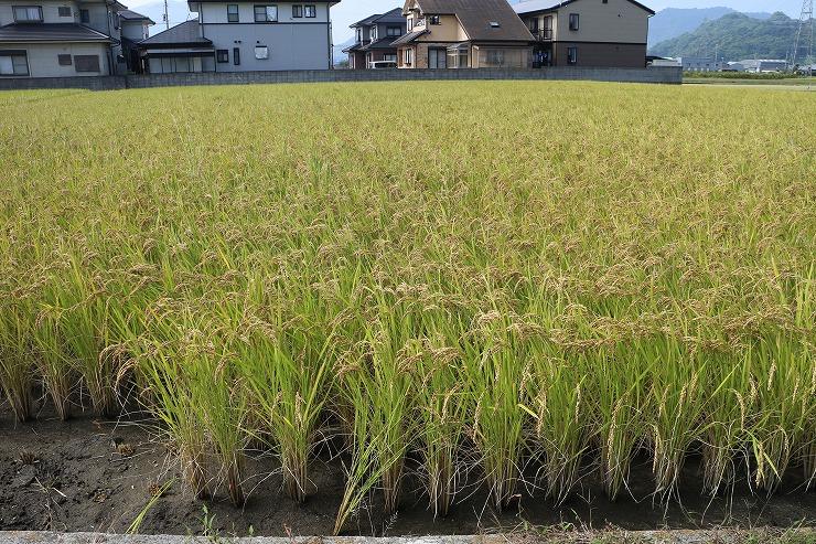 モチ米の稲刈り 29 10 11