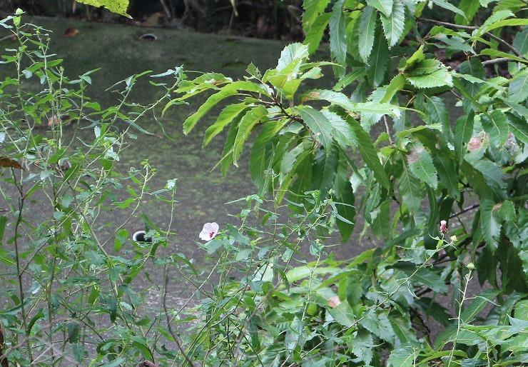 ヤノネボンテンカが咲いてるよ 29 10 12