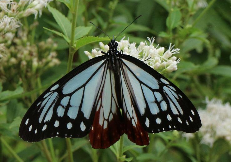 翅の綺麗な浅葱斑蝶 29 10 18