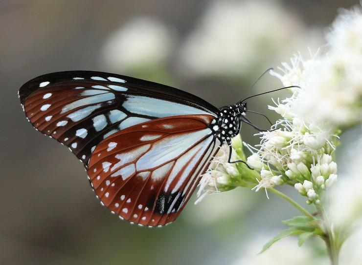浅葱斑とぼかしの花 29 10 20