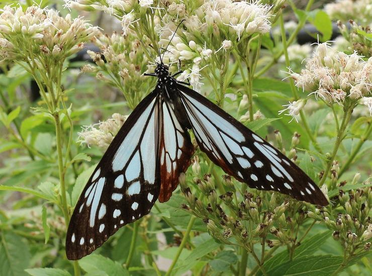 白花が好きな浅葱斑 吸蜜中 29 10 24