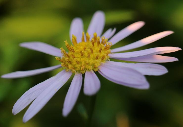 野菊の花 加敷池土手 29 10 27