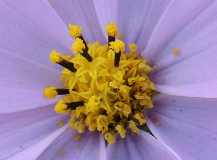 コスモスの花の中 29 11 10