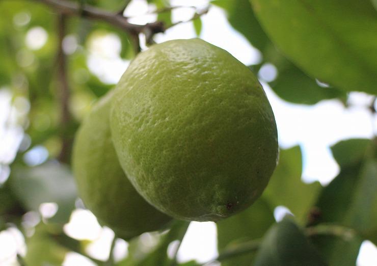 緑のレモン 29 11 18