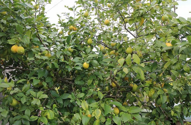 レモンいっぱい 29 11 18