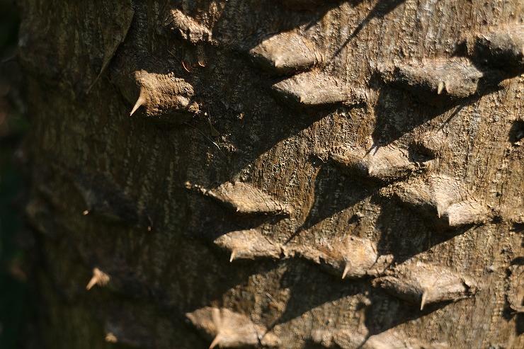 烏山椒の樹のトゲトゲ 29 11 28