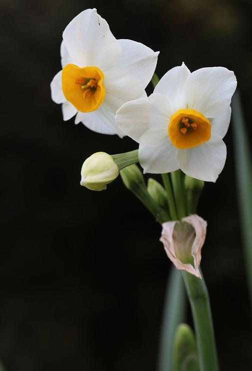 水仙が咲いてる爺神山に H29 11 30