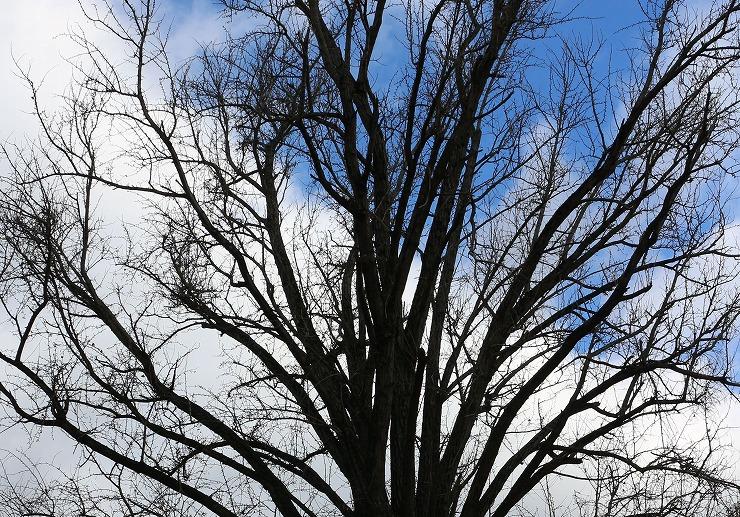 葉の落ちたイチョウの樹 29 12 18