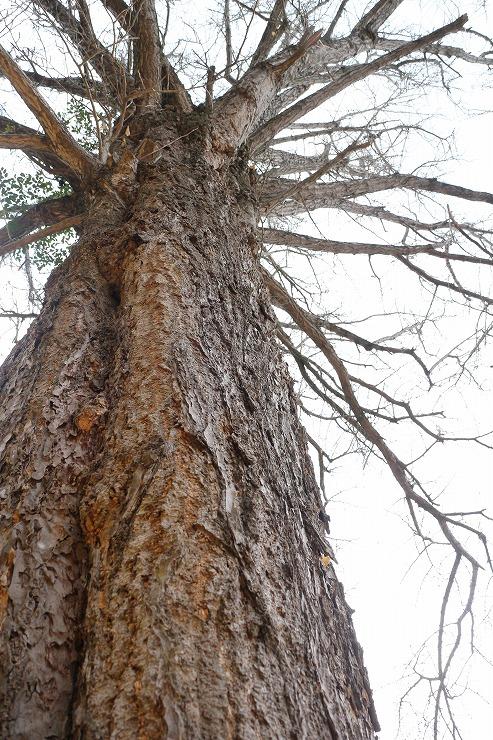 香川の保存木イチョウ 29 12 18