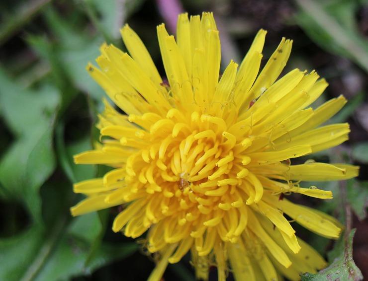 西洋タンポポの花 29 10 12