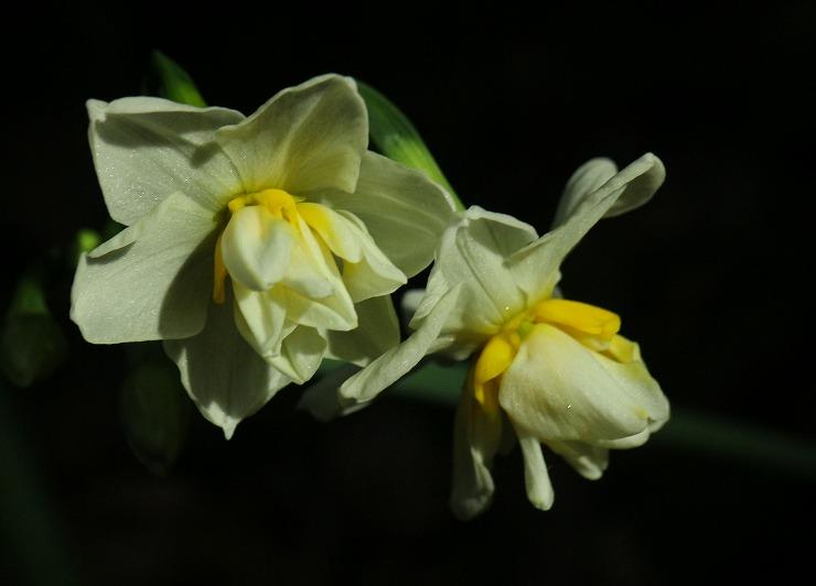 水仙の花咲き始め 29 12 16