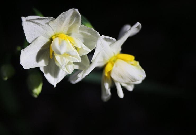 水仙の花 29 12 16