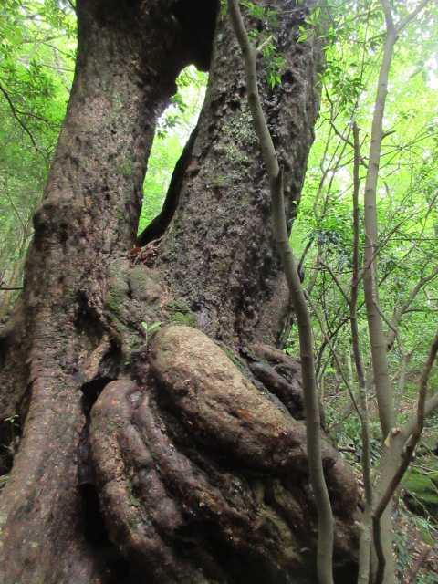 IMG2435JPG巻き道の奇樹