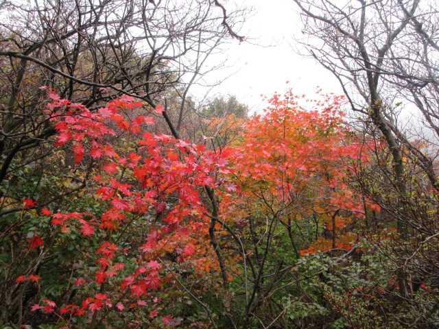 IMG2536JPG楓の紅葉