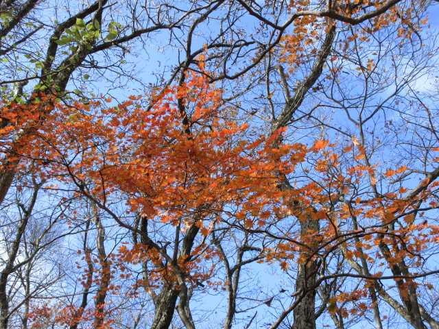 IMG2799JPG高木の紅葉
