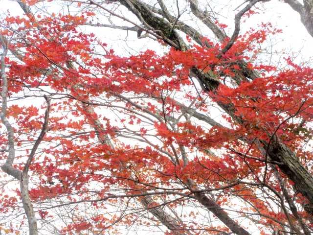 IMG2811JPG高木の紅葉