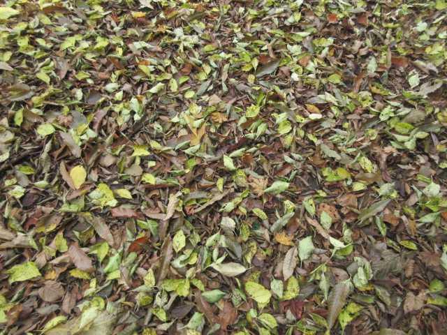 IMG2868JPG緑の落葉