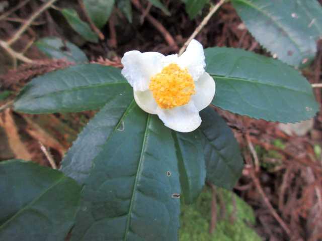 IMG2896JPGお茶の木