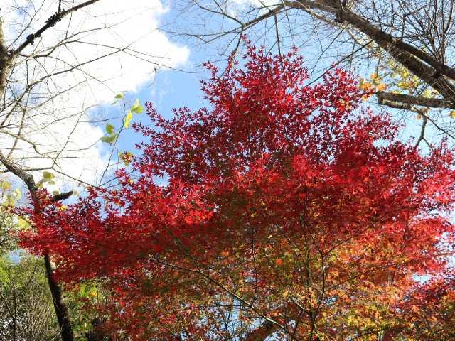 IMG5741JPG高木の紅葉です