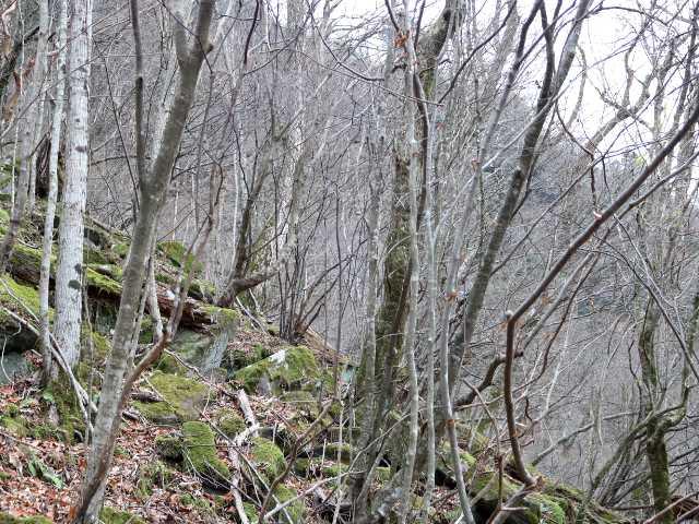 IMG5950JPGシオジの林