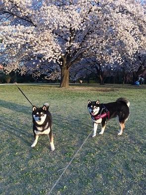 2017桜-3