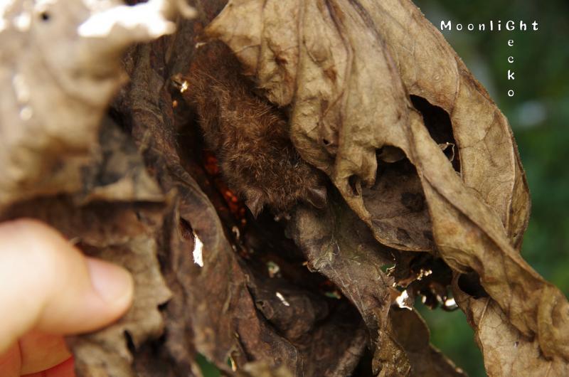 コテングコウモリ