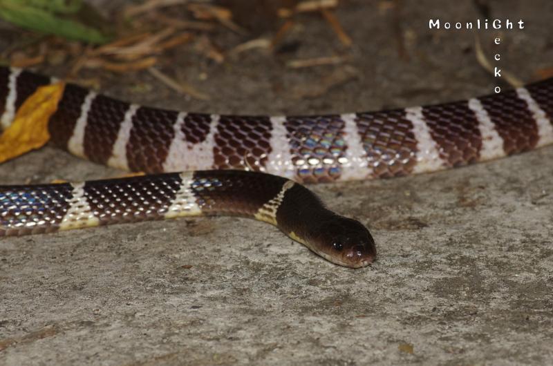 タイワンアマガサヘビ