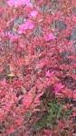 洗足池狂い咲きのサツキ
