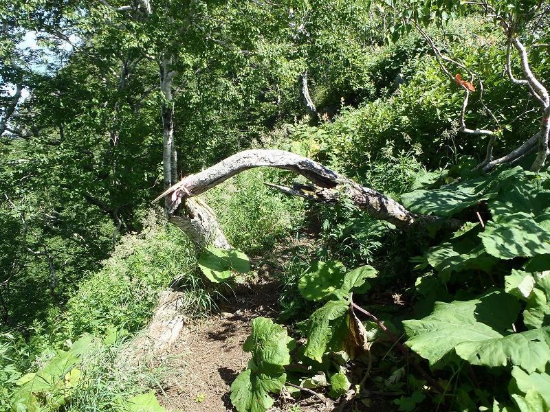 恵庭アーチの木