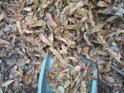 クヌギの落ち葉をてみで集めます。