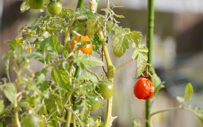 tomato171201-1