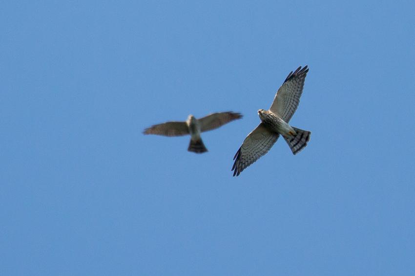 171001アカハラダカ幼鳥2