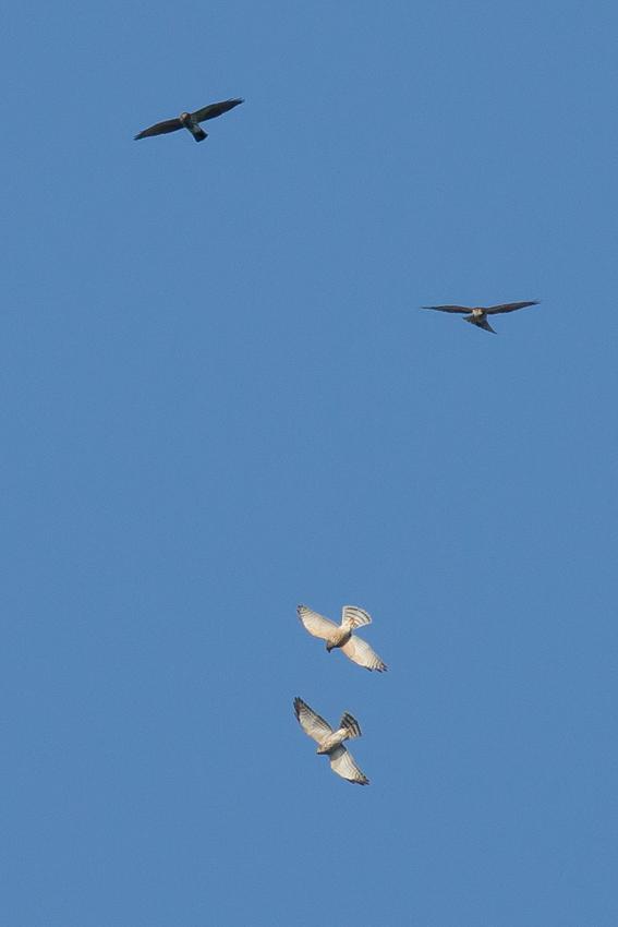 171001アカハラダカ幼鳥3