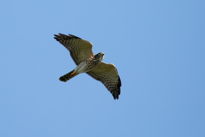 171001アカハラダカ幼鳥4