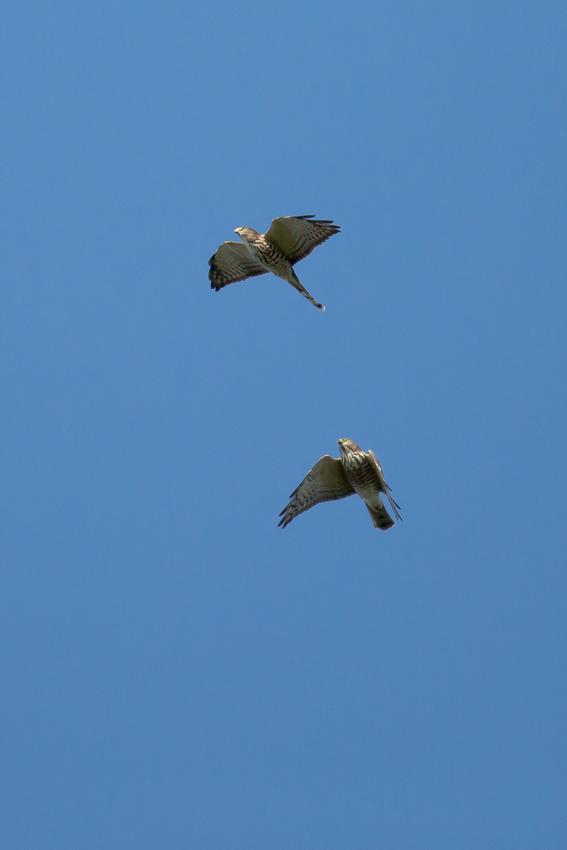 171001アカハラダカ幼鳥5