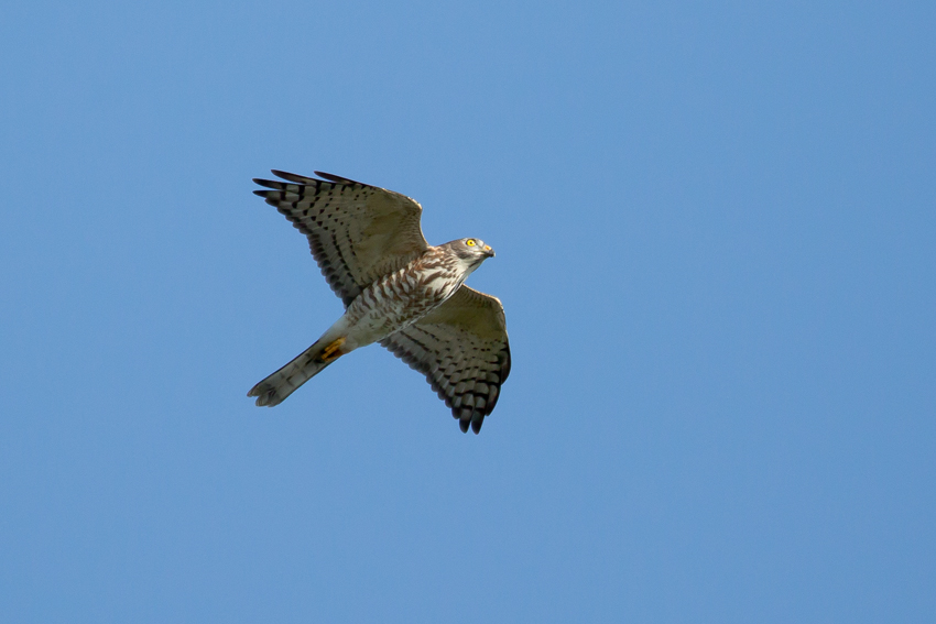 171001アカハラダカ幼鳥7