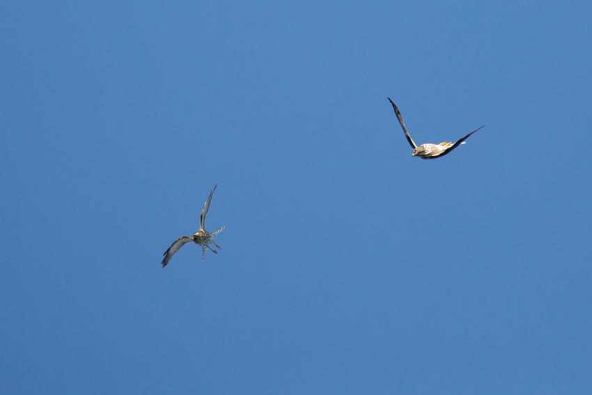 171001アカハラダカ幼鳥6