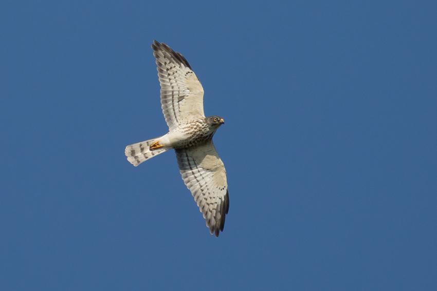 171001アカハラダカ幼鳥8